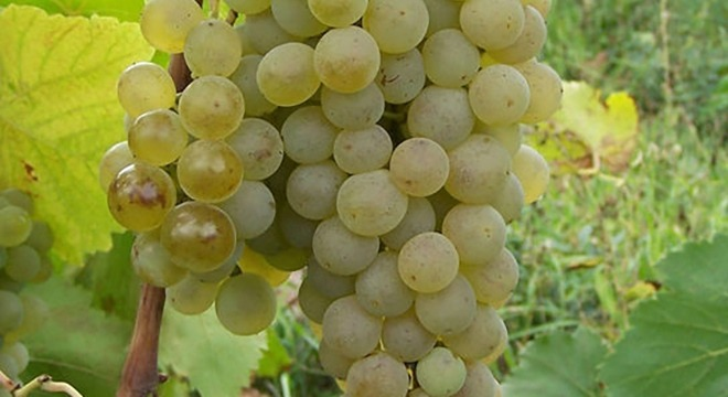 Chinuri-grapes-georgia-wine1 (1)