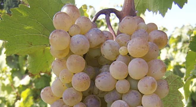 Rkatsiteli-grape-georgia-wines