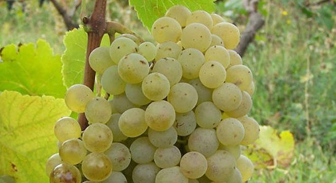 Sakmiela_grapes-georgia-wine1