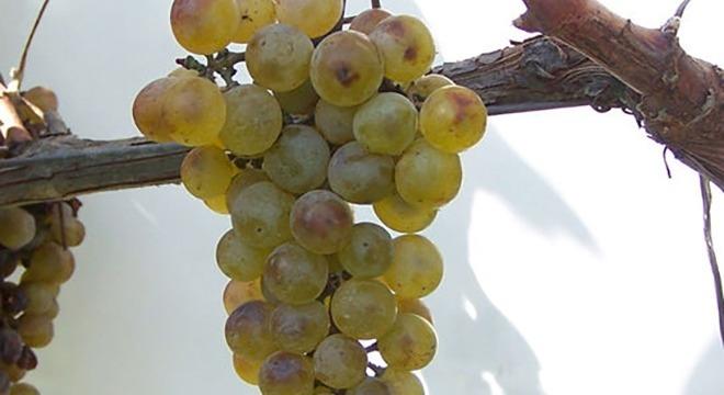 Khikhvi-grapes-georgiav2