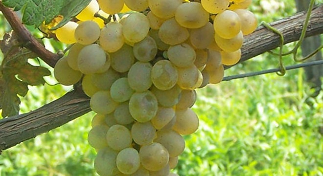 Krakhuna-grapes-georgia-winesv2