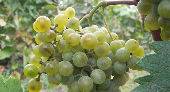 Tsolikouri-grapes-wine-georgiav2