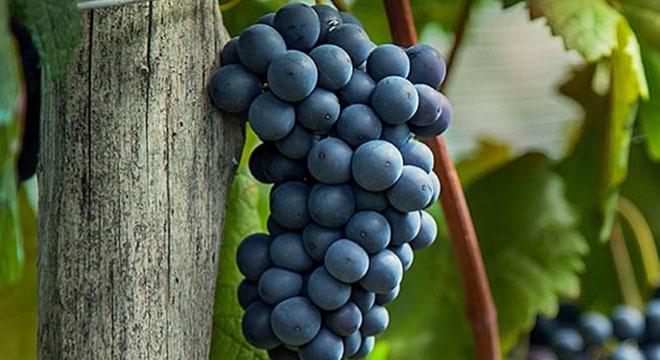 Usakehlouri Grapes