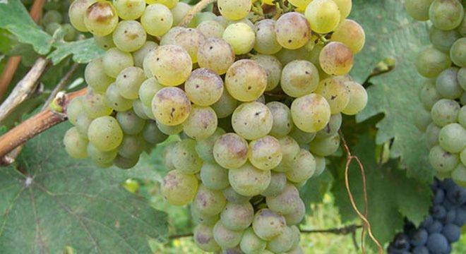 goruli-mstvane-grapes-georgia-wine-v2