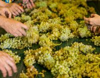 SFD_Tannins-in-White-Wine_FD9-50137_working-with_white_grapes_CO_Clos_Mogador_2520x1420-768x432